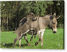 Donkey Equus Asinus Adult With Foal Acrylic Print by Konrad Wothe
