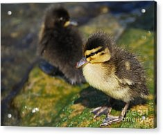 Ducklings Acrylic Print by Alan Clifford
