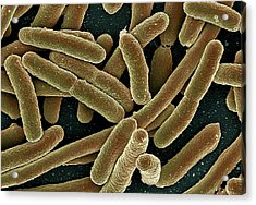 E. Coli Bacteria, Sem Acrylic Print by Ami Images