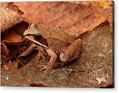 Eastern Wood Frog Acrylic Print by Ted Kinsman
