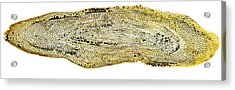 Eel Scale, Light Micrograph Acrylic Print by Dr Keith Wheeler