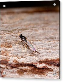 Emerald Ash Borer Parasite Acrylic Print by Science Source