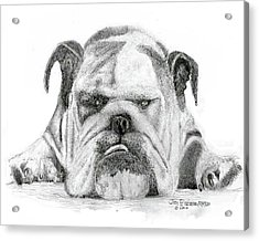 Acrylic Print featuring the drawing English Bulldog by Jim Hubbard
