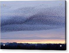 European Starling Flock Acrylic Print by Duncan Shaw