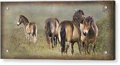 Exmoor Ponies Acrylic Print