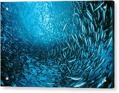 Farmed Sea Bass Acrylic Print by Alexis Rosenfeld