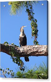 Female Anhinga Acrylic Print by Rosalie Scanlon