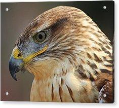 Ferruginous Hawk Acrylic Print by Paulette Thomas