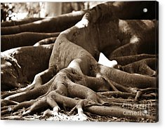 Fig Tree Roots Acrylic Print