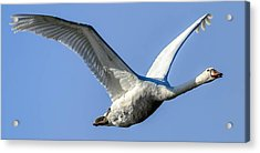 Freebird Acrylic Print by Brian Stevens