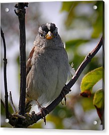 Acrylic Print featuring the photograph Gambel's White Crowned Sparrow by Ronda Broatch
