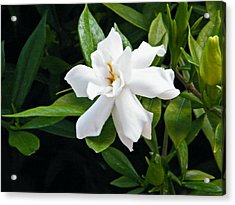 Acrylic Print featuring the photograph Gardenia by Brian Wright