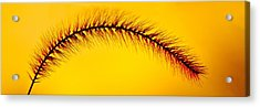 Giant Foxtail In Gold Acrylic Print by Jim Finch