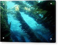 Giant Kelp Acrylic Print by Georgette Douwma