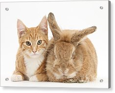 Ginger Kitten With Sandy Lionhead-cross Acrylic Print