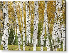 Golden Birches Acrylic Print