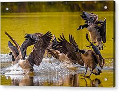 Golden Geese Acrylic Print by Brian Stevens