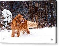 Golden Retriever In Snow Acrylic Print by Matt Dobson