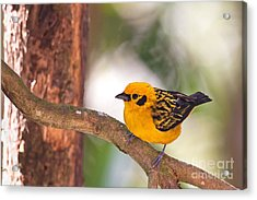 Golden Tanager Acrylic Print