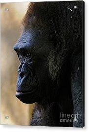 Gorilla Acrylic Print by Marc Bittan