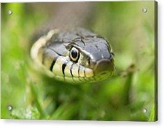 Grass Snake Acrylic Print by Adrian Bicker