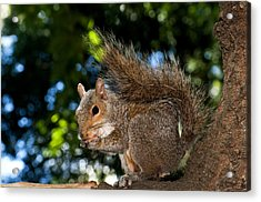 Gray Squirrel Acrylic Print