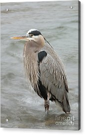 Acrylic Print featuring the photograph Great Blue Heron by Doug Herr