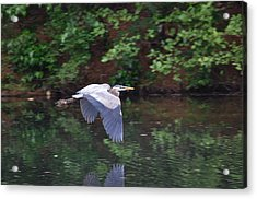 Great Blue Heron Flying Low Acrylic Print by Mary McAvoy