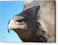 Great-chested Buzzard Eagle Acrylic Print
