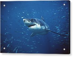 Great White Shark Carcharodon Acrylic Print by Mike Parry