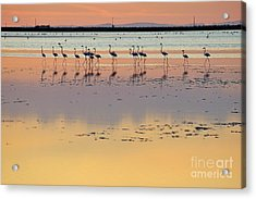 Greater Flamingos In Pond At Sunset Acrylic Print by Sami Sarkis