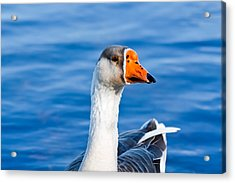 Acrylic Print featuring the photograph Greater White-fronted Goose 2 by Ann Murphy