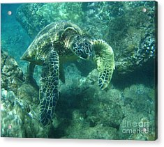 Green Sea Turtle Hawaii Acrylic Print by Bob Christopher