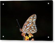 Gulf Fritillary Butterfly Acrylic Print by Jim McKinley
