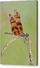Halloween Pennant Dragonfly At Lacassine Acrylic Print by Bonnie Barry