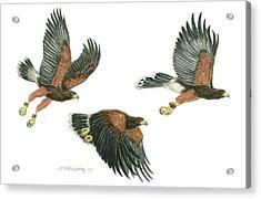 Harris Hawk Cast Acrylic Print by Tim McCarthy