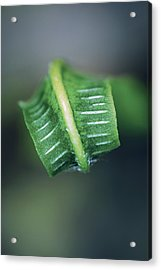 Hart's Tongue Fern Unfurling Acrylic Print by Colin Varndell