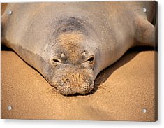 Hawaiian Monk Seal Acrylic Print by Dave Fleetham - Printscapes