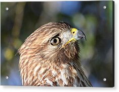 Acrylic Print featuring the photograph Hawk At Viera by Jeanne Andrews