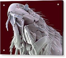 Hedgehog Flea, Sem Acrylic Print by Steve Gschmeissner