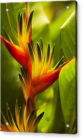 Heliconia Acrylic Print by Dana Edmunds - Printscapes