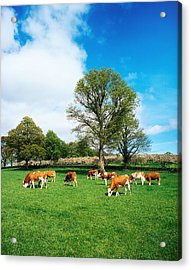 Hereford Bullocks Acrylic Print by The Irish Image Collection