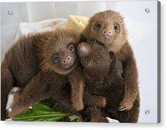 Hoffmanns Two-toed Sloth Choloepus Acrylic Print by Suzi Eszterhas