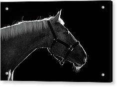 Horse Acrylic Print by Arman Zhenikeyev - professional photographer from Kazakhstan