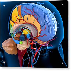 Human Brain Anatomy, Artwork Acrylic Print by Roger Harris