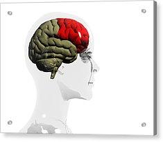 Human Brain, Frontal Lobe Acrylic Print by Christian Darkin