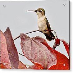 Hummingbird Acrylic Print by Paulette Thomas