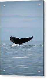 Humpback Whale Tail Acrylic Print by Alexis Rosenfeld
