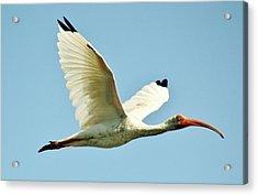 Ibis In Flight Acrylic Print by Paulette Thomas