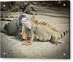 Acrylic Print featuring the photograph Iguana Family by Nick Mares